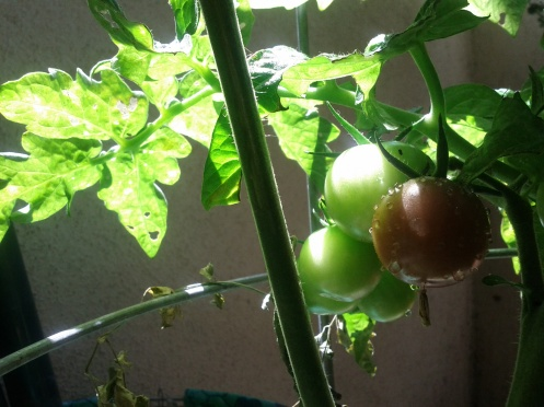 Also our DIY tomatoes are starting to turn red.