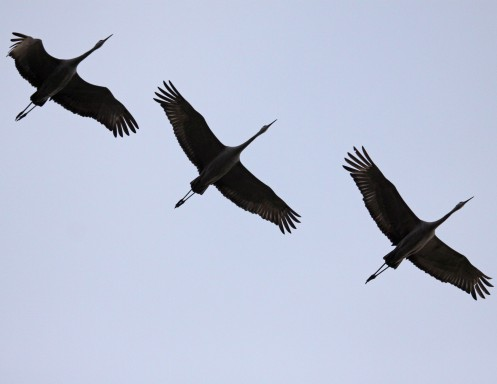 Or cranes. Or storks. Or falling stars.
